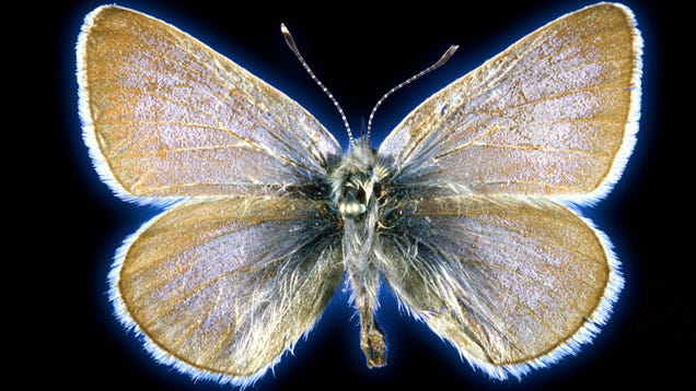 This Butterfly May Have Been the First Insect Driven Extinct by U.S. Urbanization