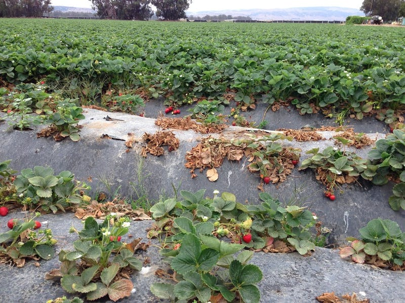 """Suspected infestation of Macrophomina phaseolina, a """"novel"""" soil pathogen, in the non-fumigated buffer zone of a strawberry field. Photo: Julie Guthman"""