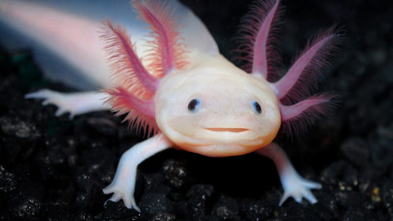 Image result for axolotl