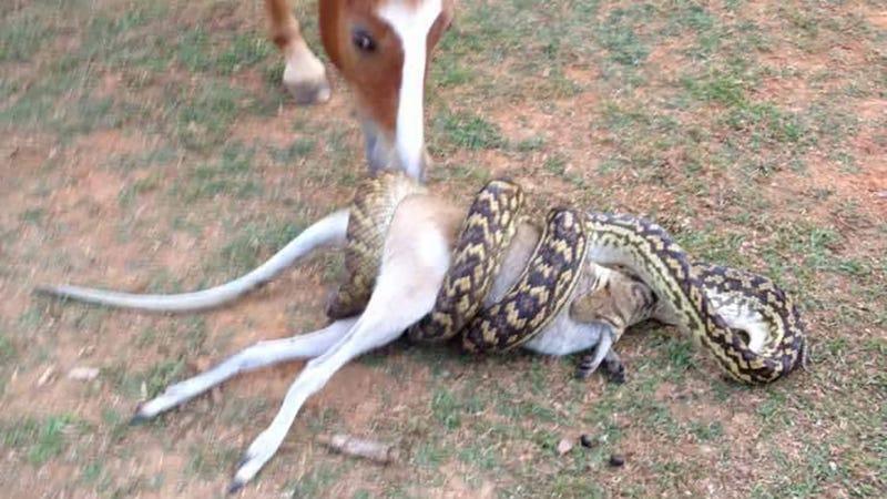 snake eating dog