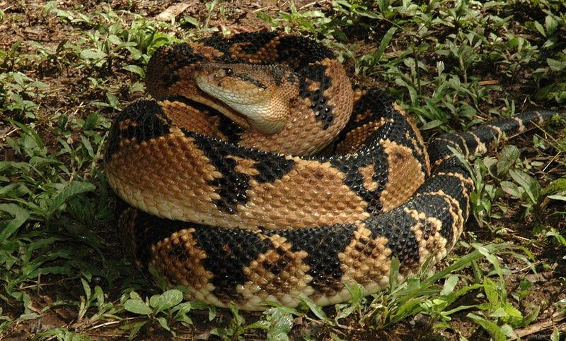 La víbora verrugosa o Lachesis muta hace honor a su nombre. No canta. Foto: Wikimedia Commons