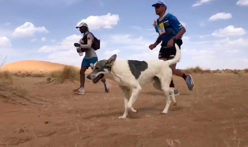 Illustration for article titled Dog Runs Grueling Desert Ultramarathon Just For Fun