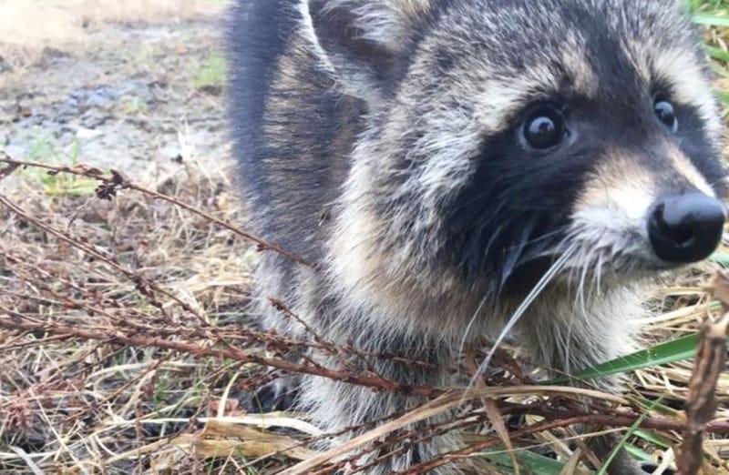 Resultado de imagen para mapache borracho