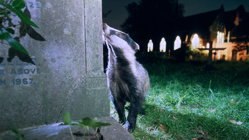 Badgers like this one in South London are already nocturnal, but may find more prey in human-disturbed areas
