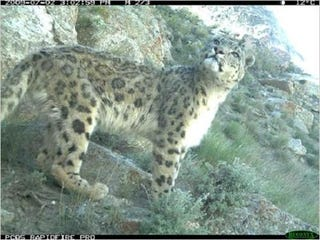 Illustration for article titled Camera Trap Gives Us a Peek at the Rare Snow Leopard