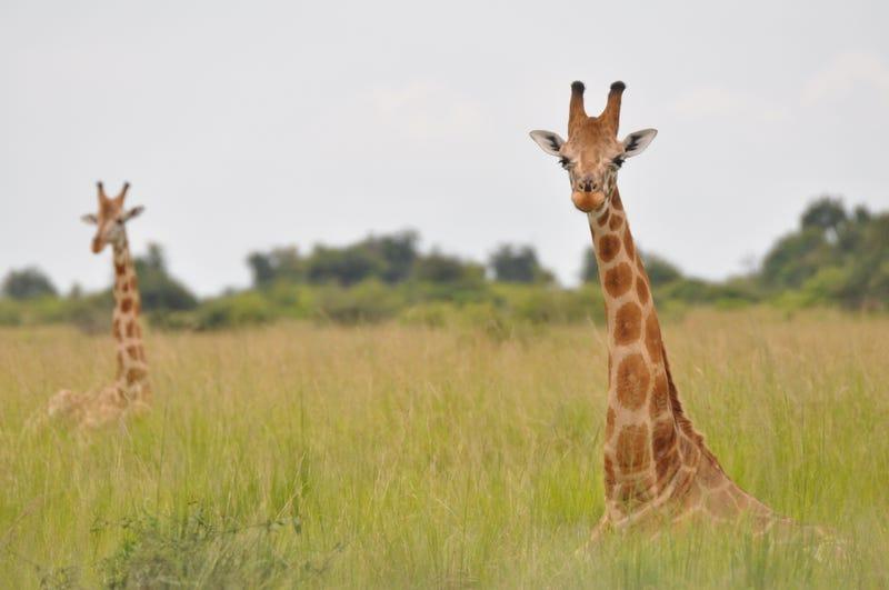 Nubian giraffes in Uganda. Image: Julian Fennessy