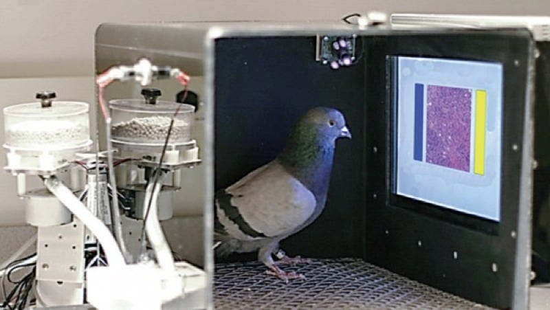 Illustration for article titled These Budding Pigeon Pathologists Can Read Your Next Mammogram