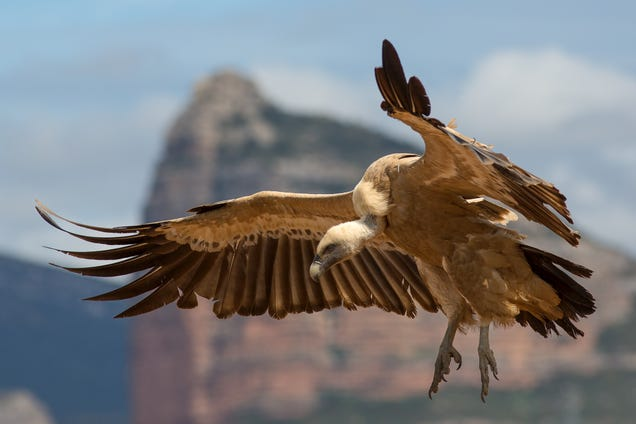 Bulgaria's Griffon Vultures Have Made a Remarkable Resurgence