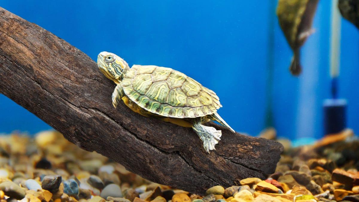 The onion americas finest news source pet turtle going hog wild on terrariums new stick urtaz Images