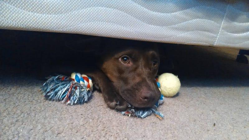 Illustration for article titled Por qué a los perros les gusta esconderse debajo de las camas