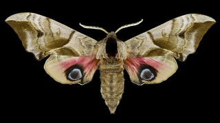 "Illustration for article titled Do ""Eyespots"" On Butterflies Really Mimic Eyes?"
