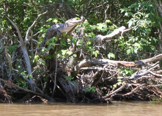 Illustration for article titled Yikes!  Crocodiles can climb trees