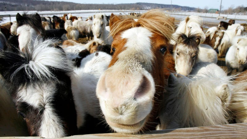 Illustration for article titled JetBlue: The Law Says We Have To Let Mini Horses On The Plane