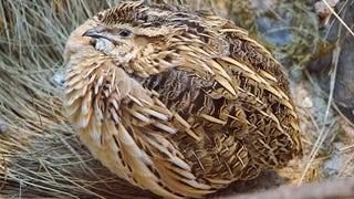 Quails Can Make Themselves Poisonous