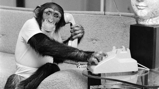 Unfortunate chimpanzee discovers Instagram, wasting time on Instagram