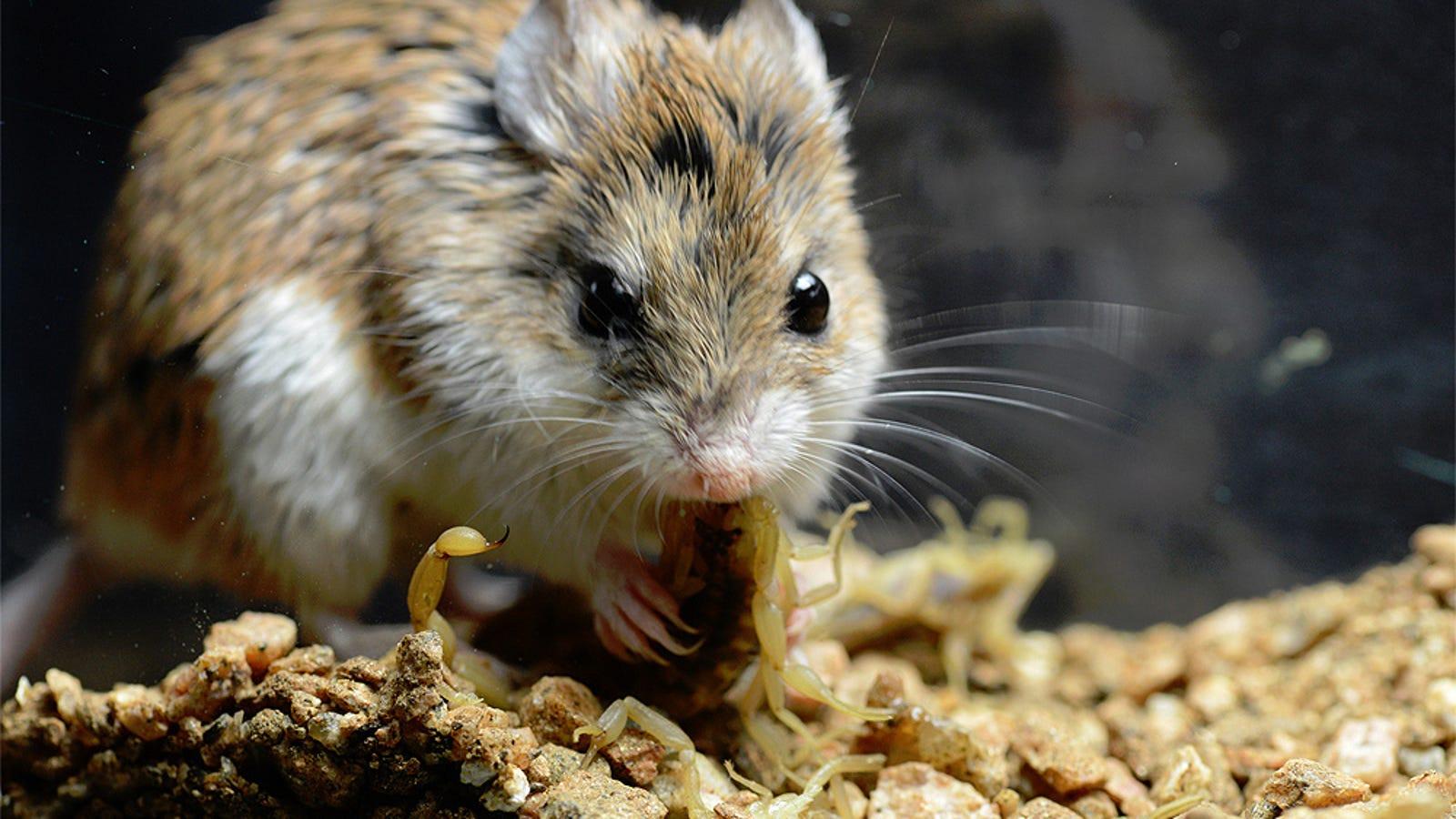 Este ratón es inmune al ataque de un escorpión que tumbaría a una persona (y por qué importa)