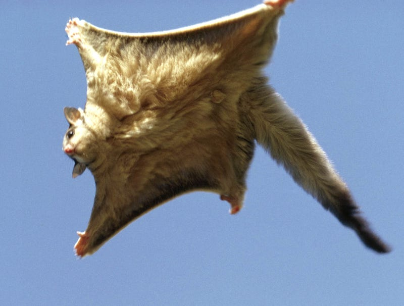 Illustration for article titled Flying Squirrel Loves It Every Time