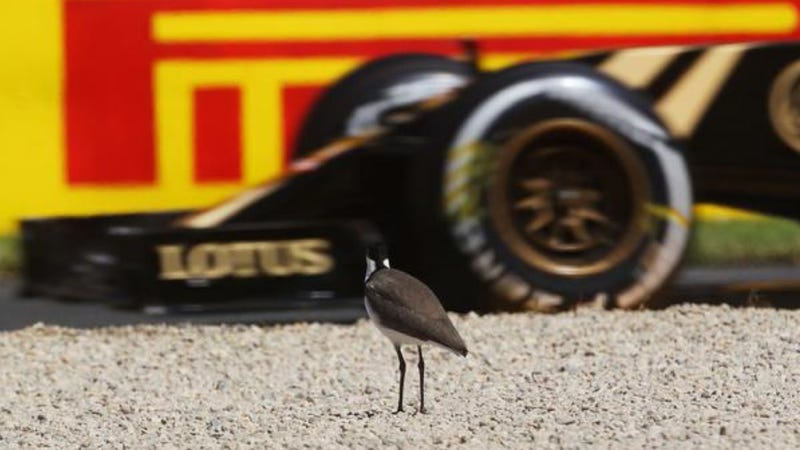 Illustration for article titled This Bird At The Australian Grand Prix Just Doesn't Care