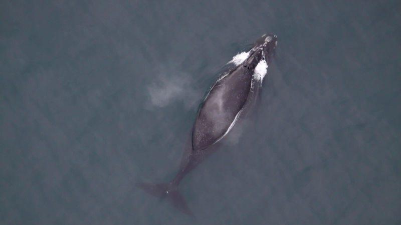 Una ballena franca al sudeste del Mar de Bering Foto: Brenda Rone (NOAA)