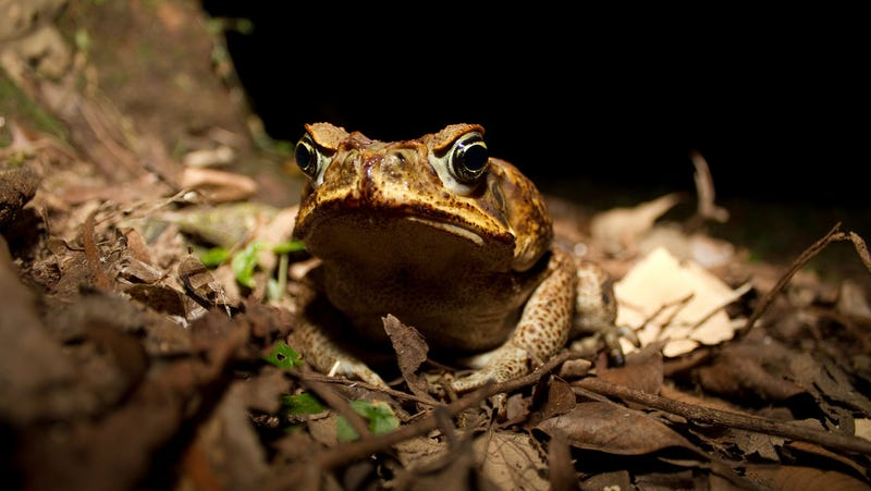 The cane toad (Rhinella marinus) is one of many species that the 2017 hurricane season's floodwaters could have spread to new habitats.