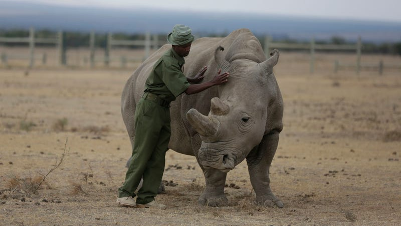 Keeper Zachariah Mutai attends to Fatu, one of only two female northern  white rhinos left in the world,  in the pen where she is kept for  observation, at the Ol Pejeta Conservancy in Laikipia county in Kenya  Friday, March 2, 2018.