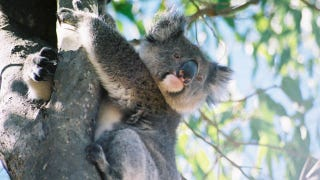 Illustration for article titled Koalas use uniquely human-like voice box for giant mating calls