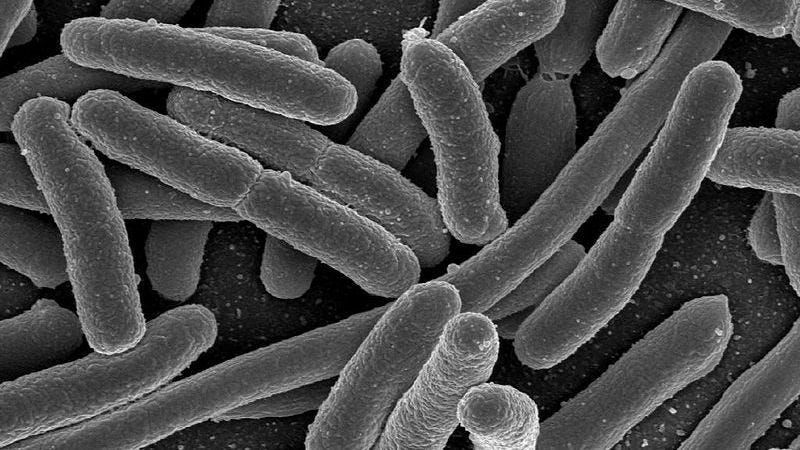E. coli, one of the many bacterial species found in the human gut.