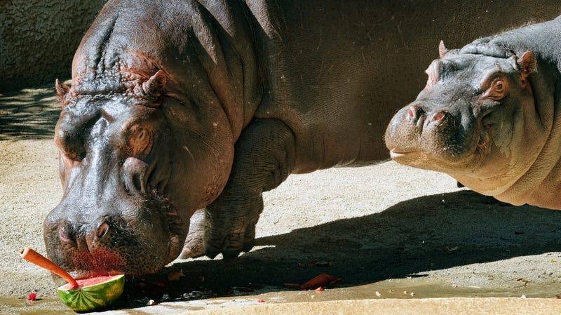 Illustration for article titled For the Love of God, Please Do Not Slap the Hippos