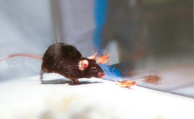 Scientists Create Mind-Controlled Hunting Zombie Mice