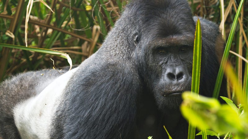 Eastern Lowland Gorillas Are Now Critically Endangered Thanks to Your Stupid Phone