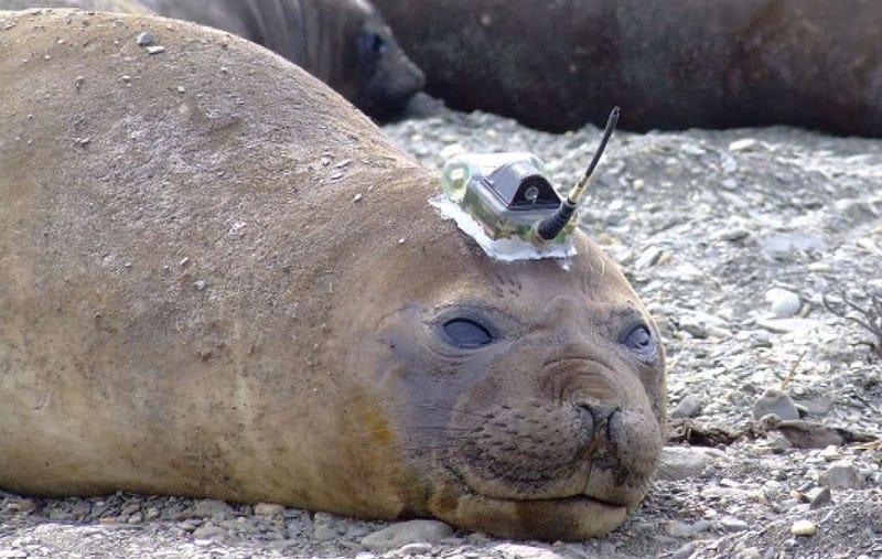 Illustration for article titled Un grupo de focas equipadas con cámaras recolectan datos de la Antártida
