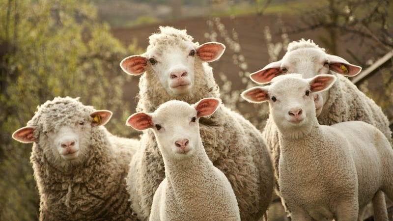 Image result for shepherd redirectng his sheep images