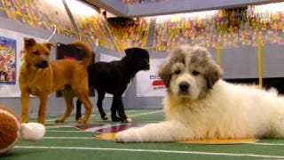 Illustration for article titled Your Obligatory, Adorable Puppy Bowl VII Highlights
