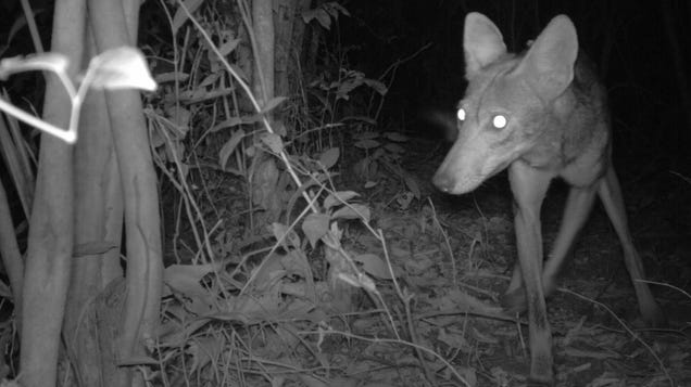 Camera Traps Show Invasive Coyotes Heading Toward South America