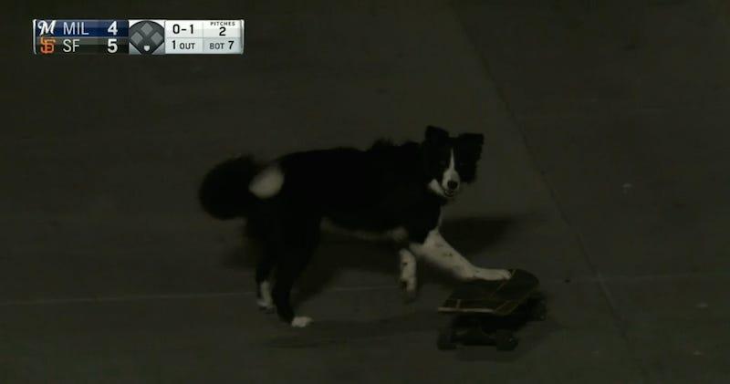 Illustration for article titled Dog Skateboards At Giants Game