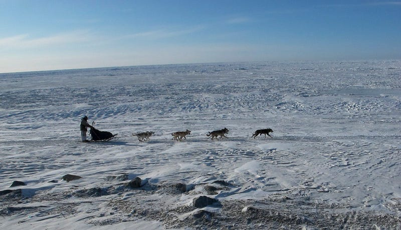 Illustration for article titled This Year, Iditarod Mushers Will Be Peeing Themselves Mid-Race With The Help Of Science
