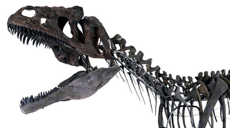 The skeleton of the unnamed carnivorous dinosaur.