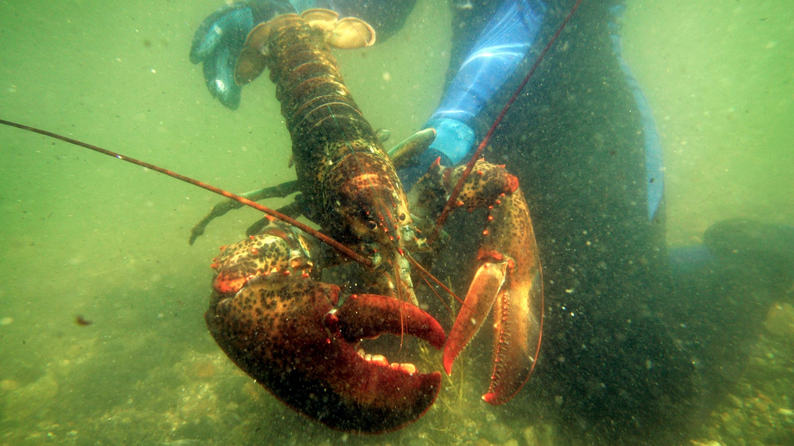 Florida Lobster Retires to Maine