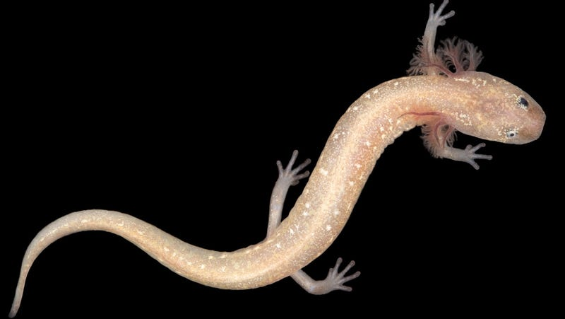 An unnamed, newly-identified salamander living near the Pedernales river west of Austin, Texas