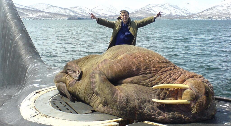 Illustration for article titled What Happens When A Walrus Falls Asleep On A Surfacing Submarine?