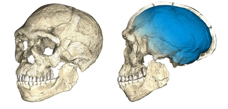 Two views of a composite reconstruction of the earliest known Homo sapiens fossils from Jebel Irhoud (Morocco) based on micro computed tomographic scans of multiple original fossils. (Credit: Philipp Gunz, MPI EVA Leipzig)
