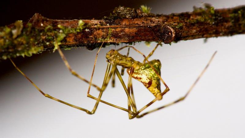Mottled Molokai spider.
