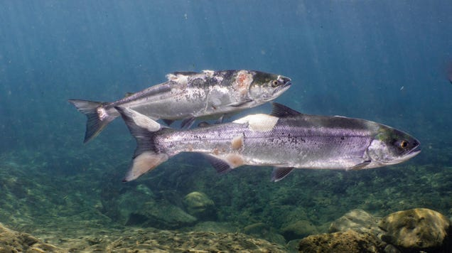 Gross, Sad Things Happening to Pacific Northwest Salmon Due to Heat Wave