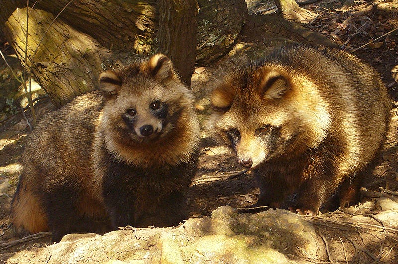 Illustration for article titled Raccoon or Dog? US Government Decides the Fate of Animal Fur