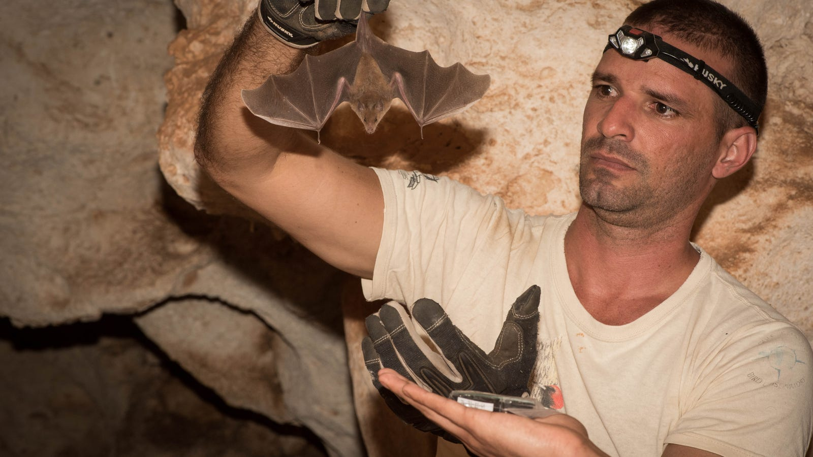 Scientists Gave One of the World's Rarest Bats a Manicure to Help Save It