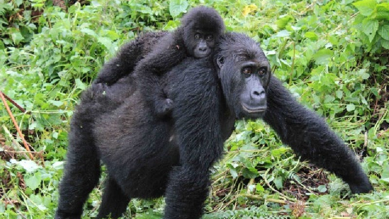 Grauer gorillas.