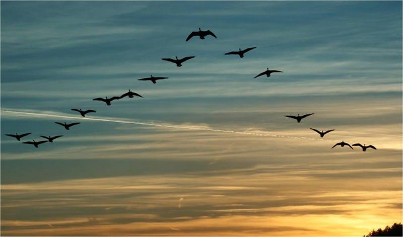 """Illustration for article titled Demostrado: por qué los pájaros vuelan en formación en """"V"""""""