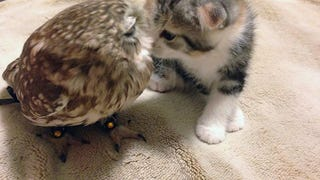 A Kitten and an Owlet meet and you wouldn't believe what happened next