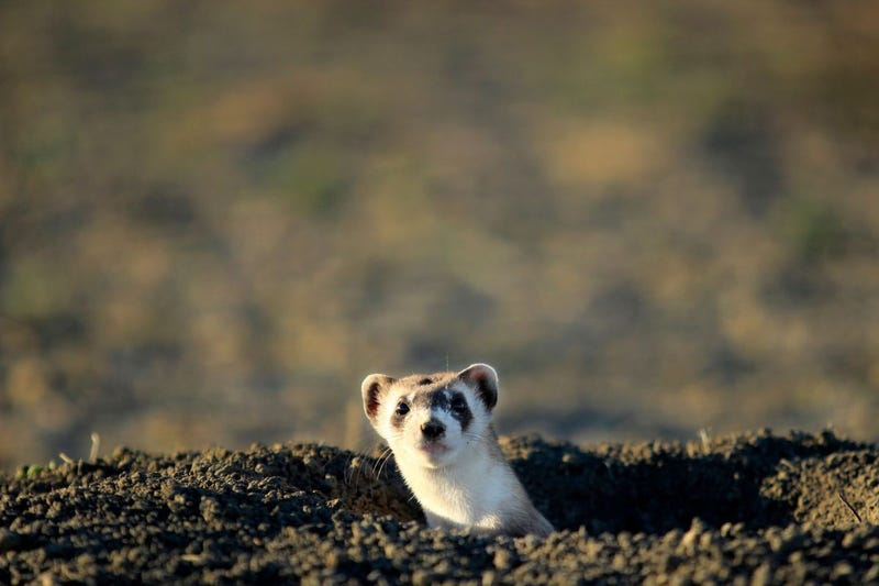 Illustration for article titled Return from whence you came, Black-Footed Ferrets