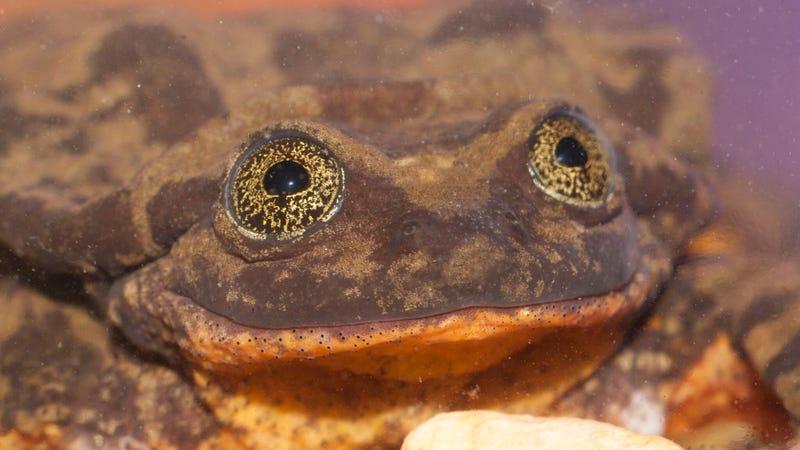 Romeo the frog. Photo: Matias Careaga via Global Wildlife Conservation